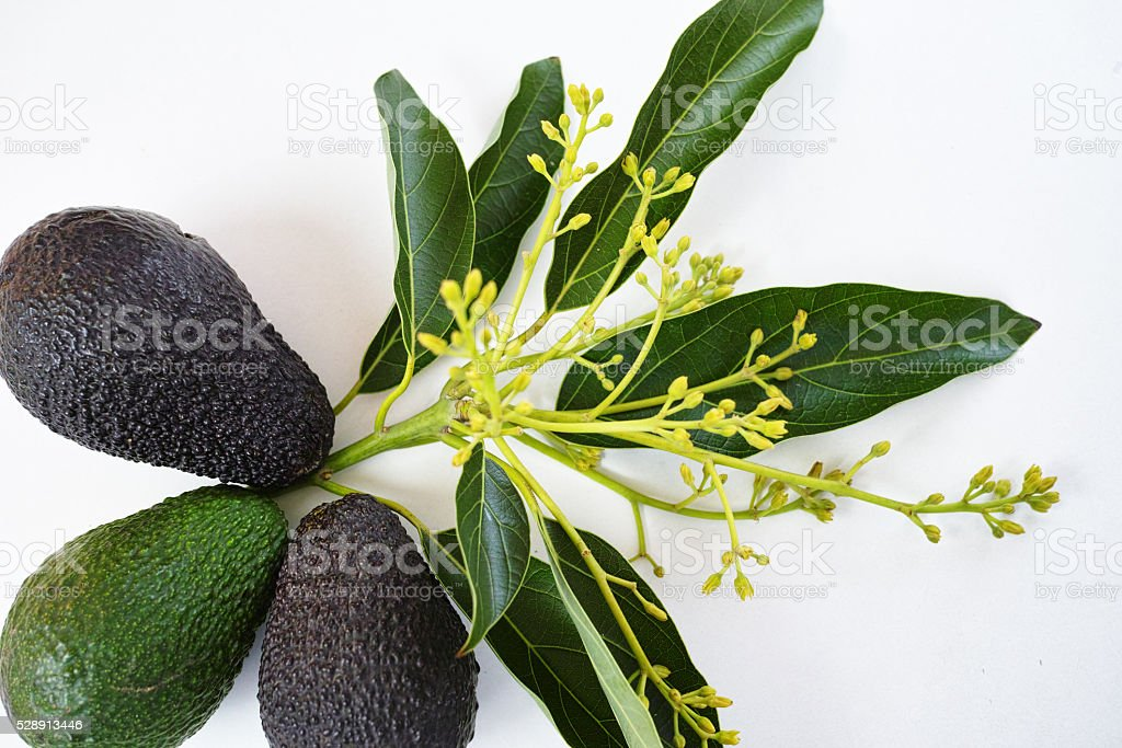 Fresh green avocados with leaves stock photo