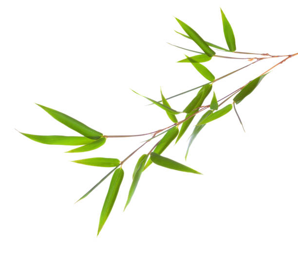 fresh green bamboo branch with leaves  isolated on white background. - bamboo stock photos and pictures