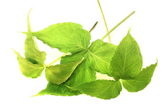 Frische grüne Verbot Xia – Foto