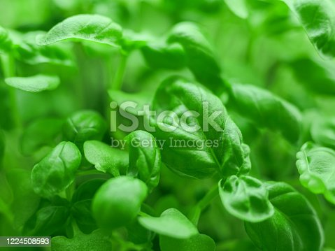 Fresh green basil close-up. Italian herbs spices. Healthy food background.