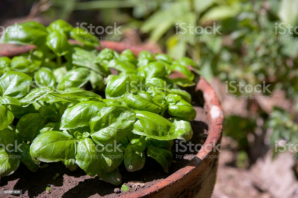 Fresh Green Basil in an Old Terracotta Pot royalty-free stock photo