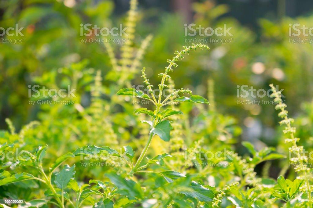 fresh green basil leave zbiór zdjęć royalty-free