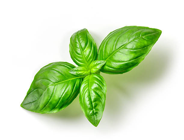 fresh green basil - basil stock photos and pictures