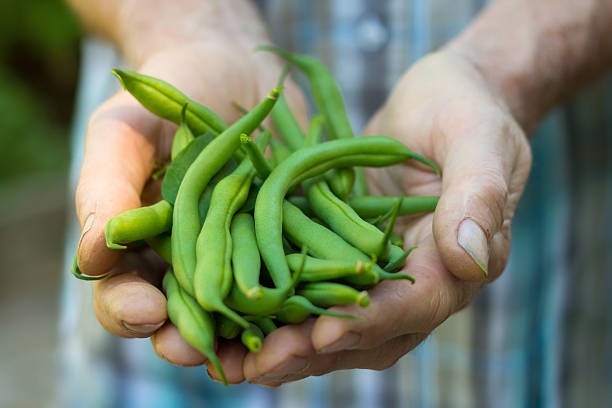 Fresh green beans from the garden. stock photo