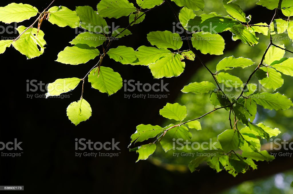 Fresh green beech leaves in the spring stock photo