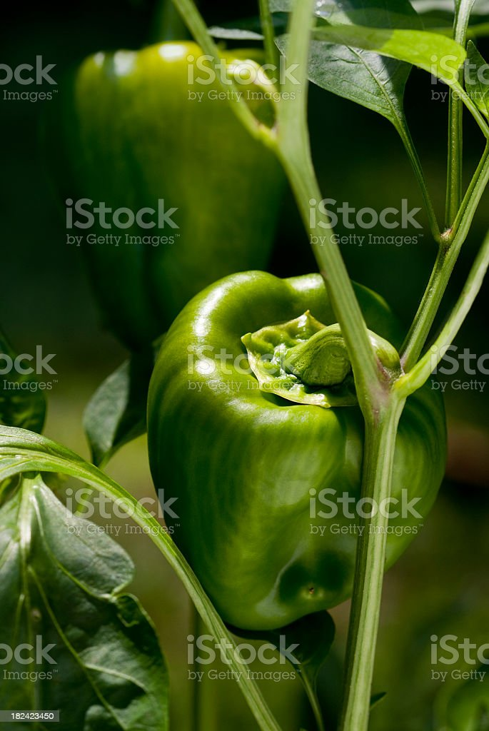 Fresh Green Bell Pepper Plant royalty-free stock photo
