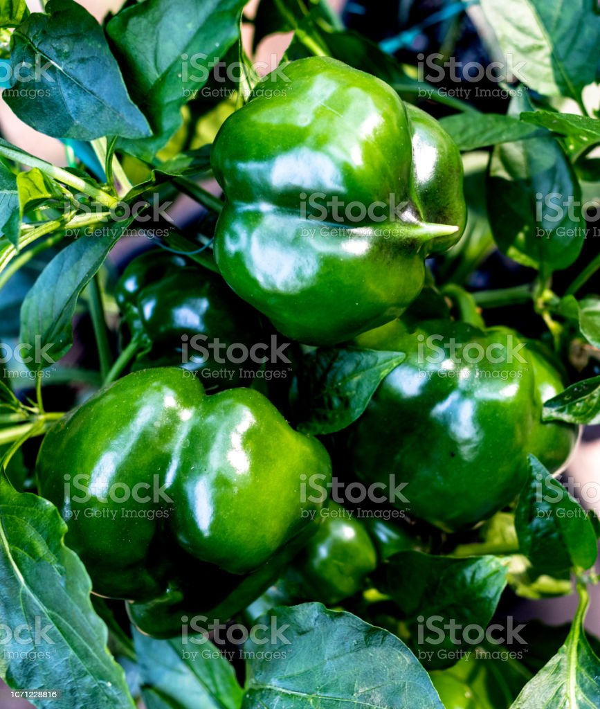 Fresh green bell peppers growing fresh on the vine stock photo
