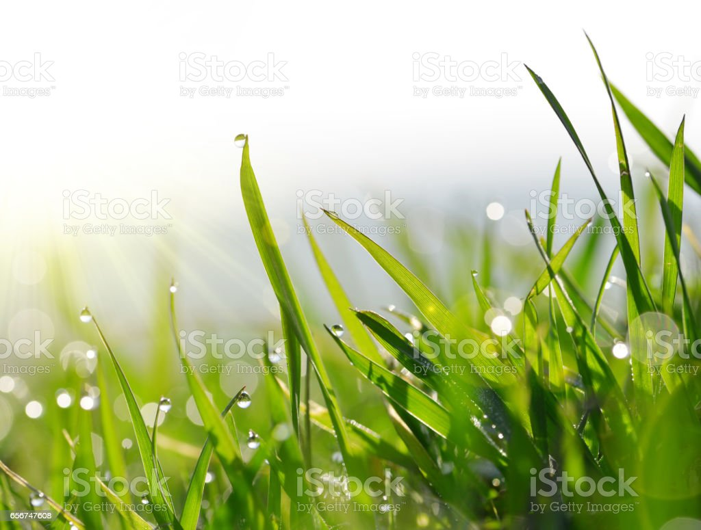 Fresh green blades of grass with dew drops. stock photo