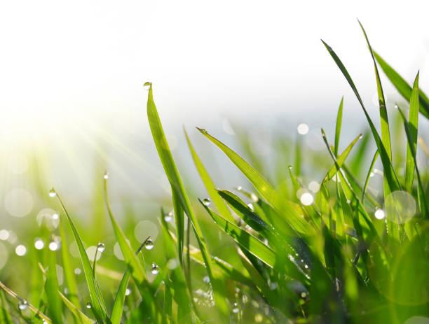 fresh green blades of grass with dew drops. - filo d'erba foto e immagini stock