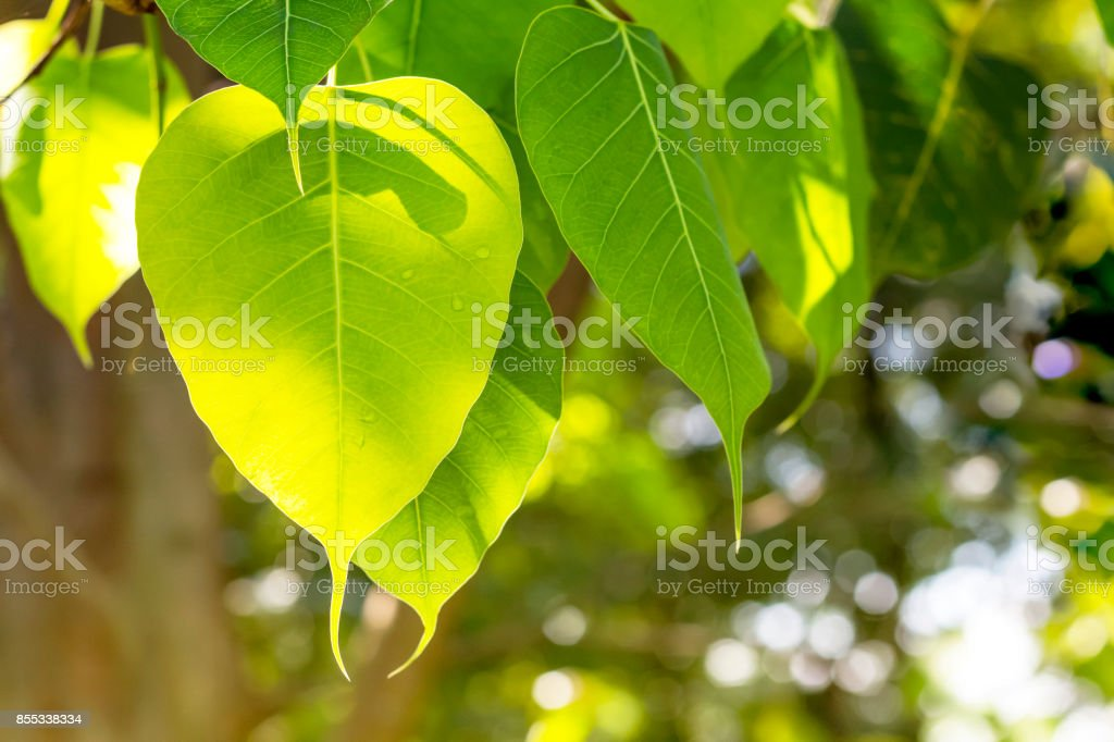 Fresh green bo leaves with sunshine in the morning. stock photo