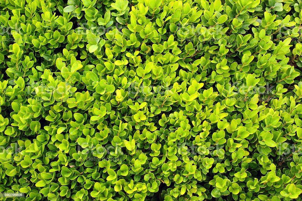 Fresh green boxwood royaltyfri bildbanksbilder