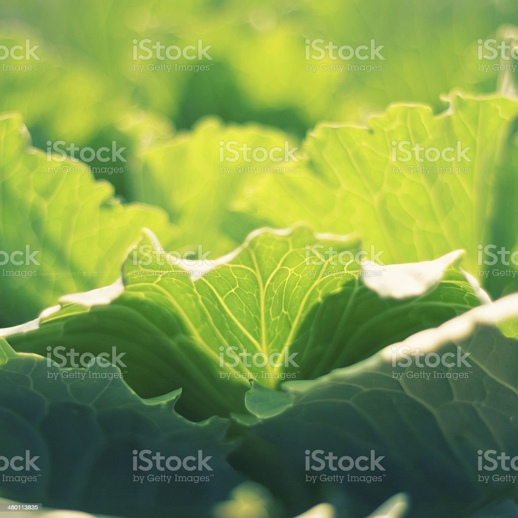 Fresh Green Cabbage royalty-free stock photo