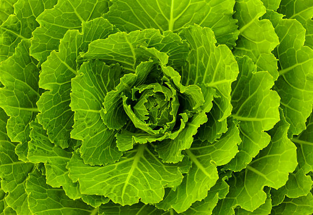 Fresh green cabbage stock photo