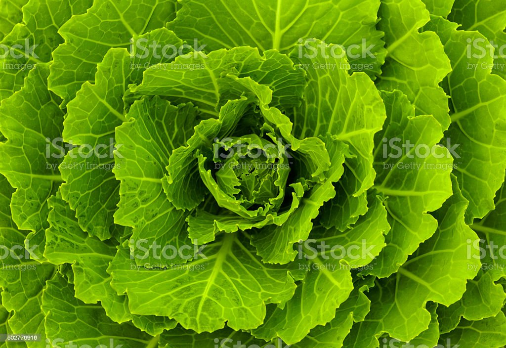 Fresh green cabbage stock photo