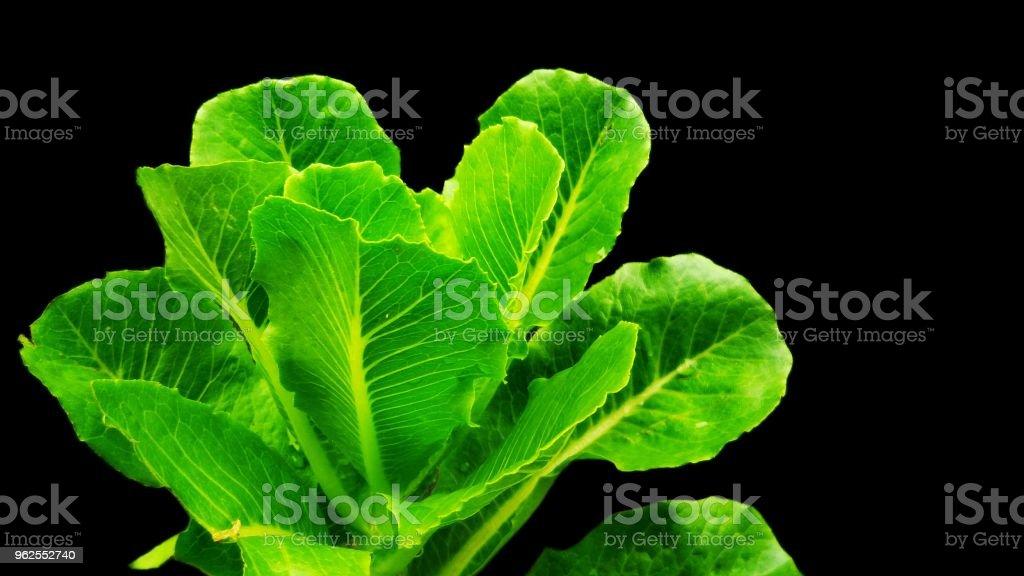 Repolho verde fresco - Foto de stock de Alimentação Saudável royalty-free