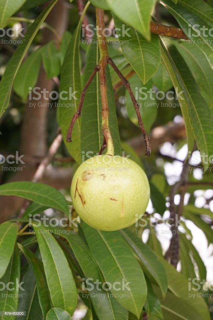 fresh green Cerbera odollam fruit in nature garden royalty-free stock photo