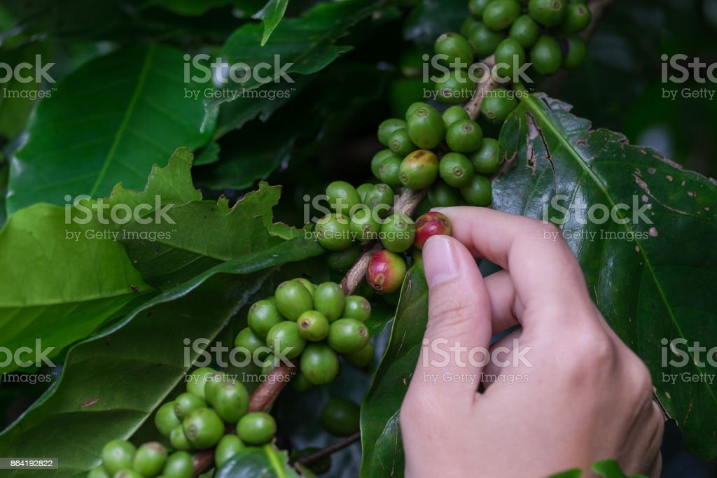 Fresh green coffee beans fruits growing on the branch in woman hand. royalty-free stock photo