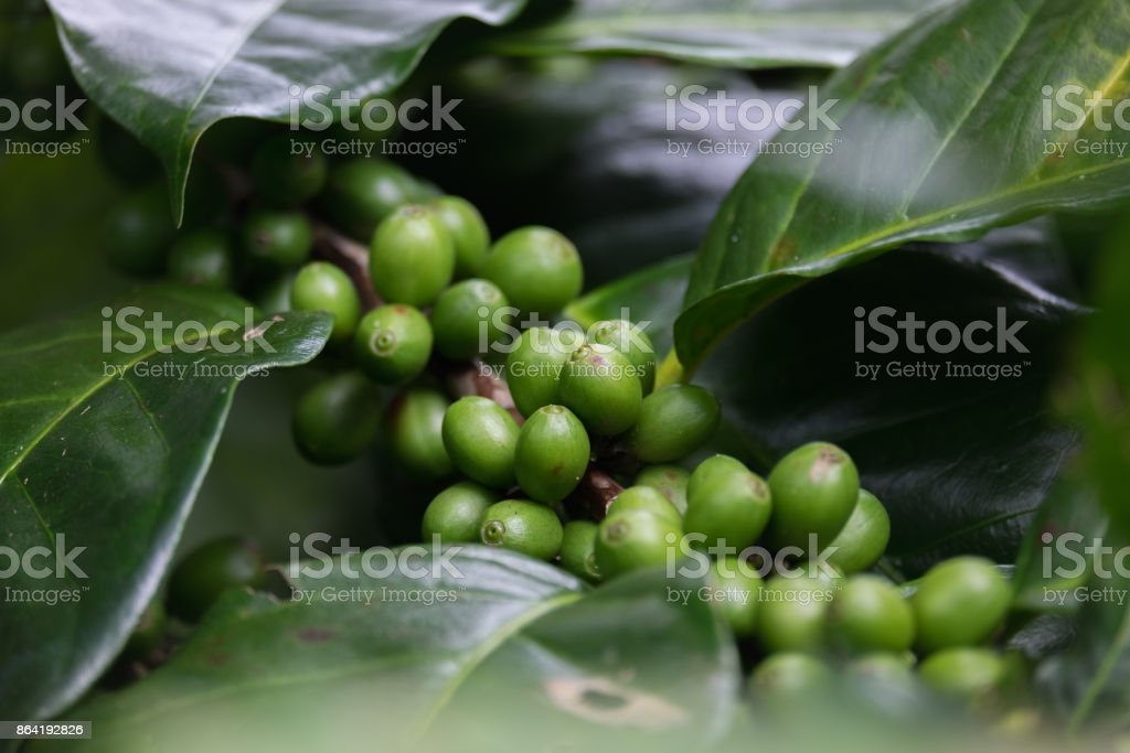 Fresh green coffee beans fruits growing on the branch royalty-free stock photo