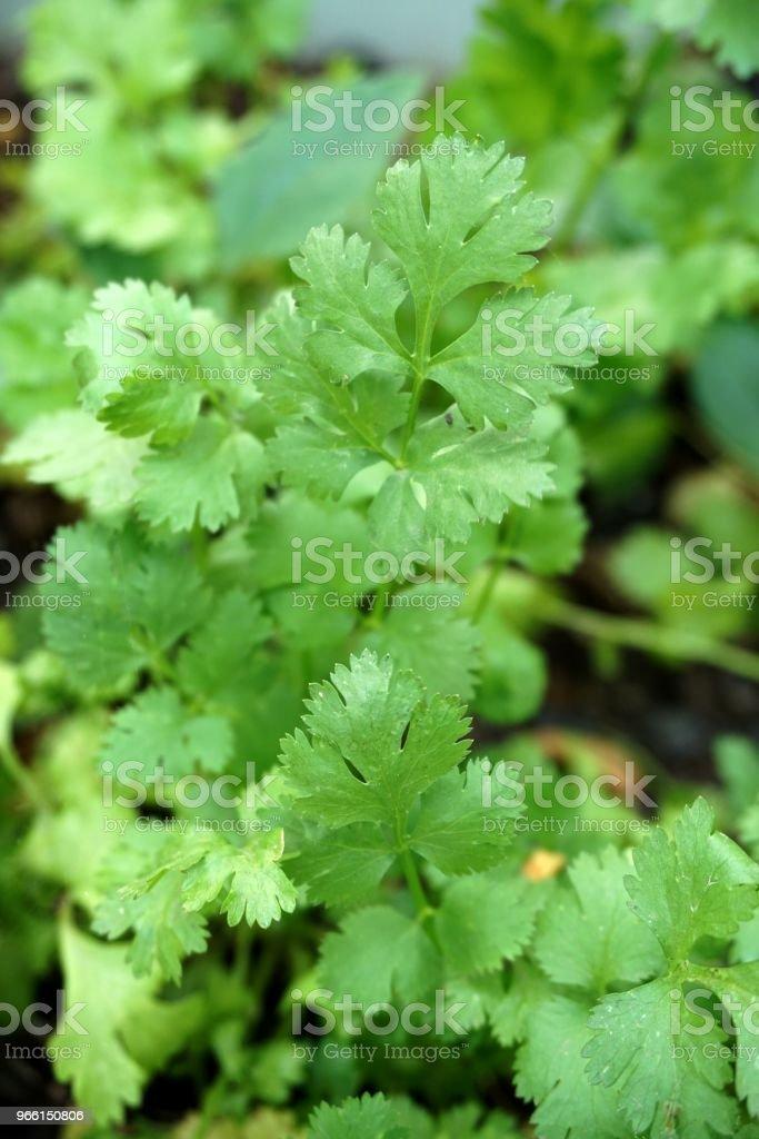 fresh green Coriandrum sativum plant in nature garden - Royalty-free Agriculture Stock Photo