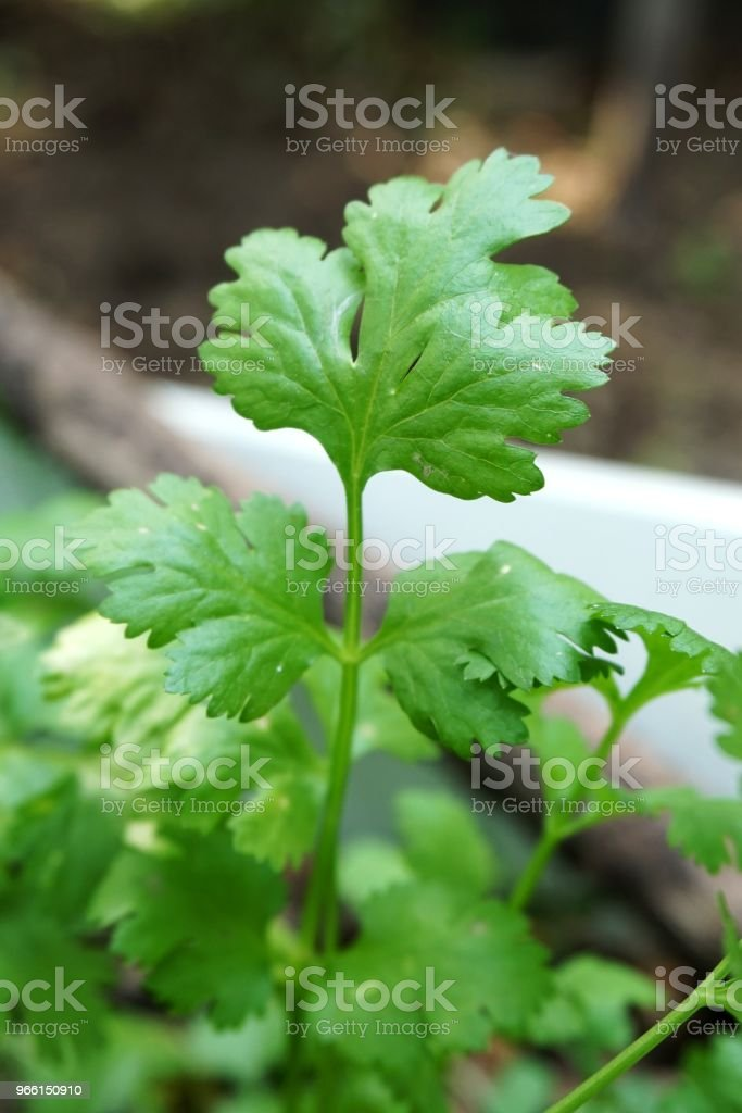 fresh green Coriandrum sativum plant in nature garden - Royalty-free Agriculture Stock Photo