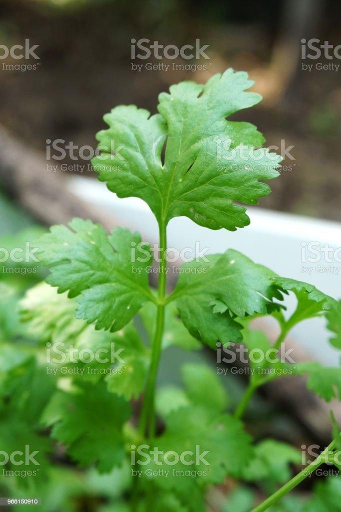 färsk grön Coriandrum sativum växt i naturen trädgård - Royaltyfri Ekologisk Bildbanksbilder