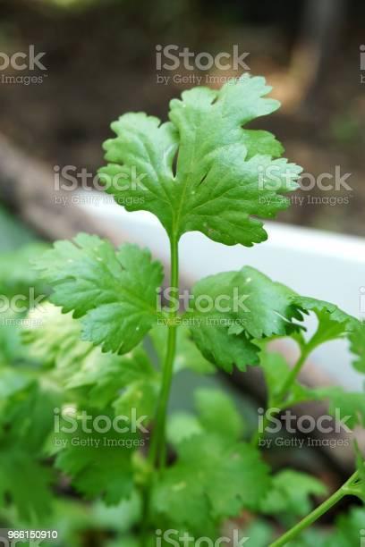 Färsk Grön Coriandrum Sativum Växt I Naturen Trädgård-foton och fler bilder på Ekologisk
