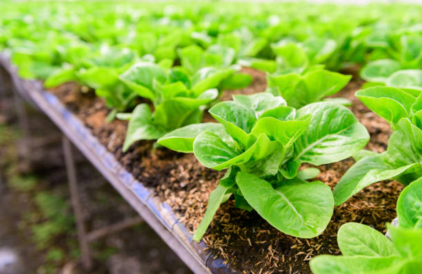 fresh green cos lettuce in organic farm. stock photo