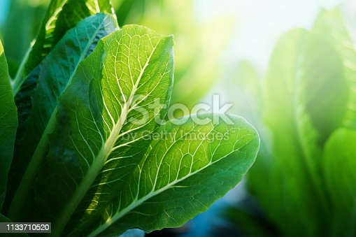 Selective focus of Fresh green Cos on vegertable farm