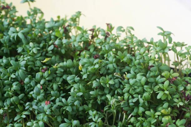 folhas de agrião verde fresco - foto de acervo