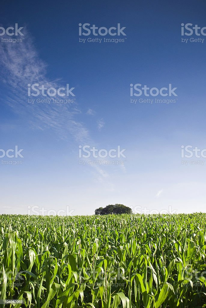Fresh green crops royalty-free stock photo