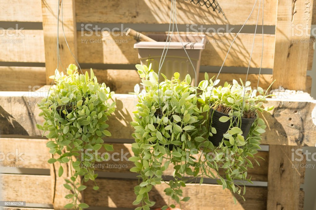Fresh green Dischidia nummularia plant hanging in garden, decoration in home stock photo