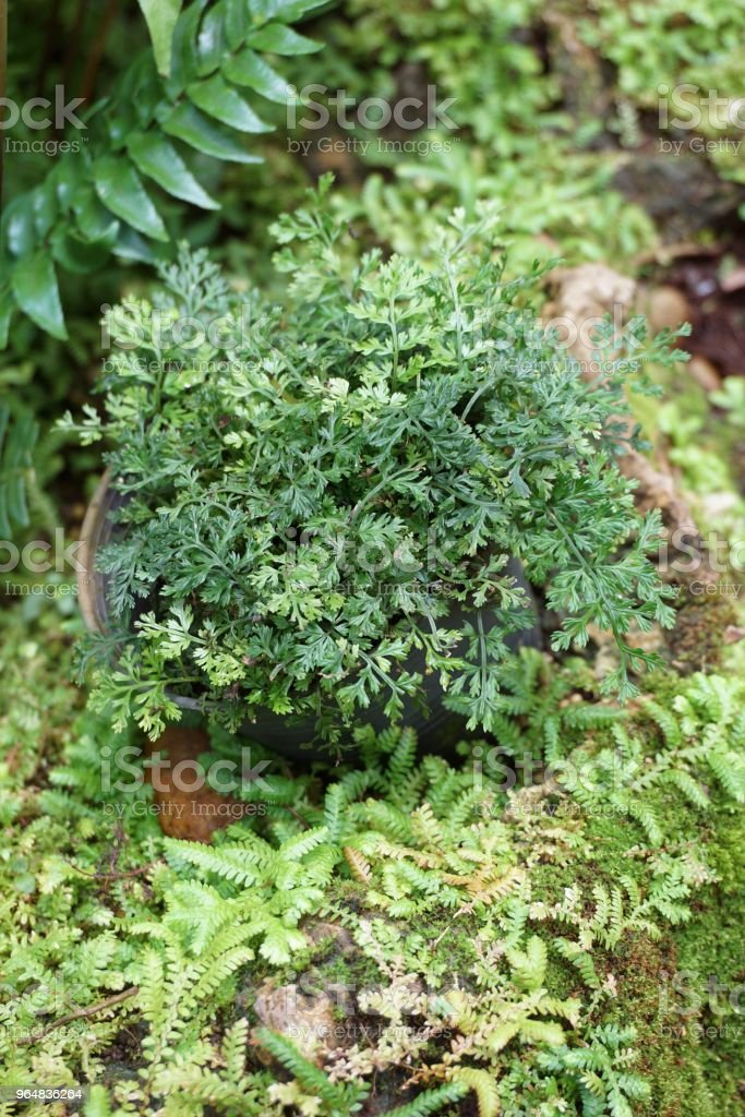 fresh green fern in nature garden royalty-free stock photo