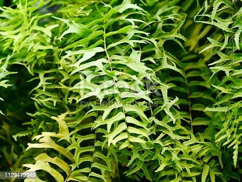 682374404 istock photo Fresh green fern leaf with dry leaf 1129419849