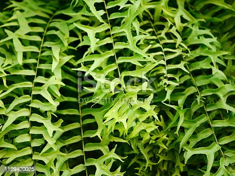 682374404 istock photo Fresh green fern leaf with dry leaf 1129420025