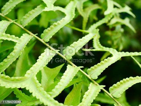 istock Fresh green fern leaf with dry leaf 1129420039