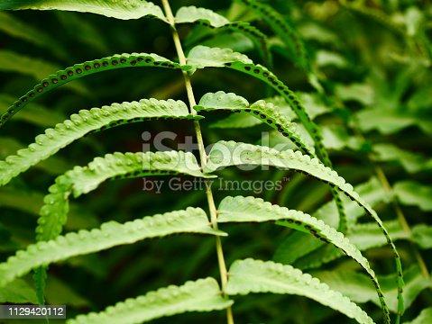 682374404 istock photo Fresh green fern leaf with dry leaf 1129420112