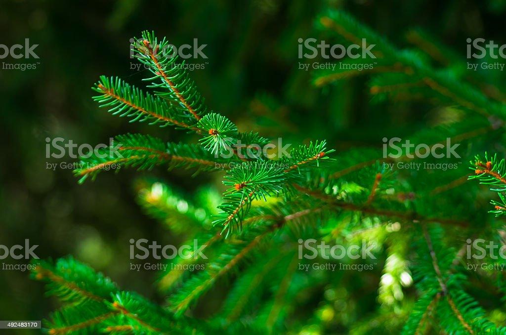 Fresh green fir branch stock photo