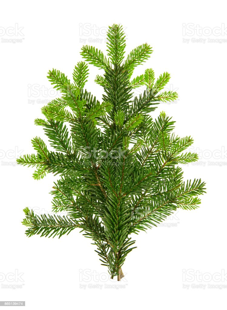 Fresh green fir branches Christmas tree white background stock photo