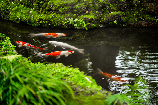 Fresh garden with koi fish