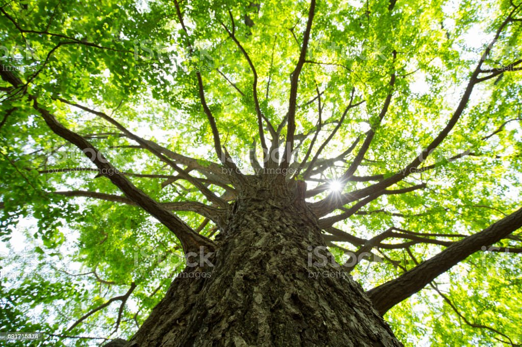 Fresh green ginkgo stock photo
