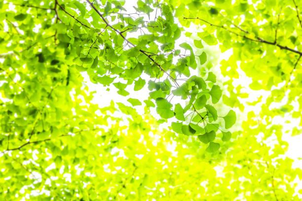 新鮮な緑のディス  - 木漏れ日 ストックフォトと画像