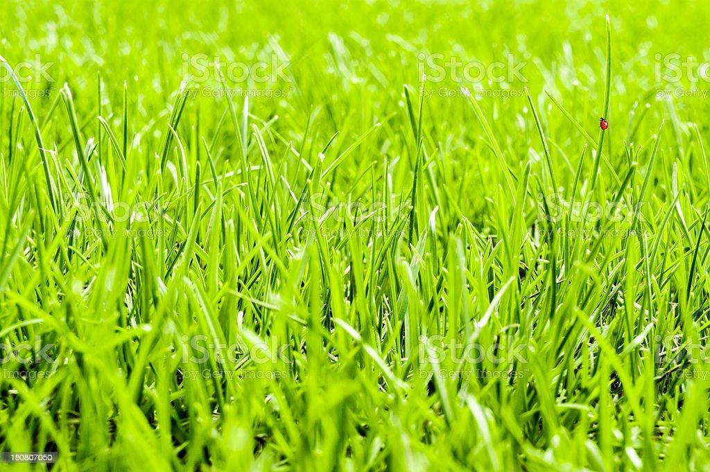 Fresh, green grass background with little ladybug walking on leaf royalty-free stock photo