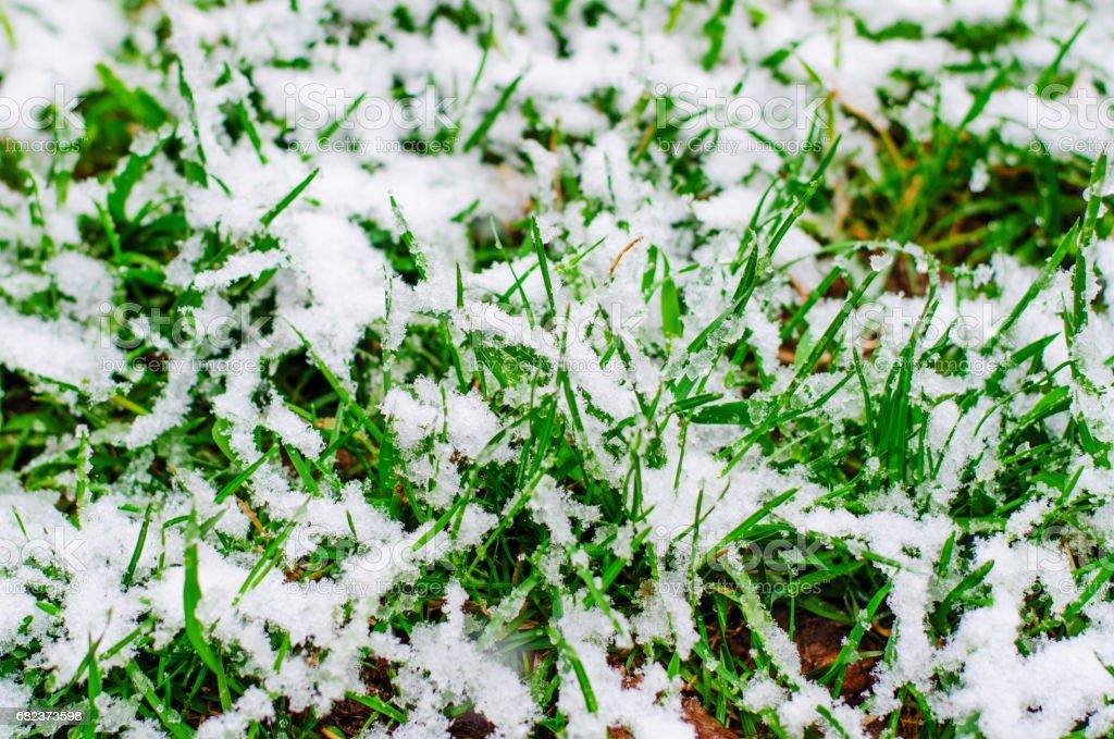 Frisse groene gras bedekt met sneeuw tijdens abnormale koude cycloon in April royalty free stockfoto