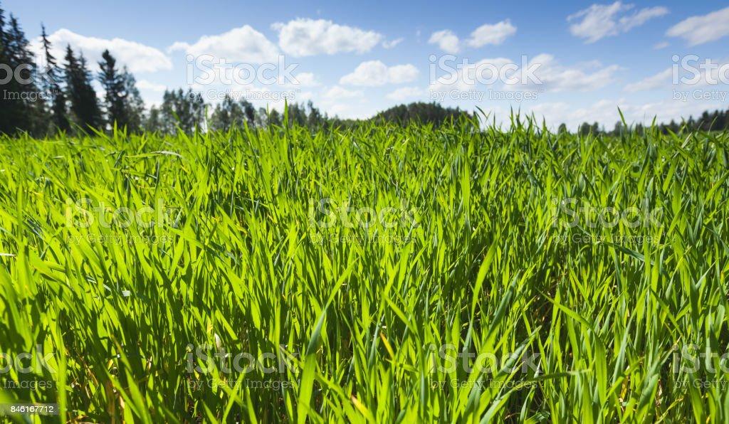 Fresh green grass grows on summer field stock photo