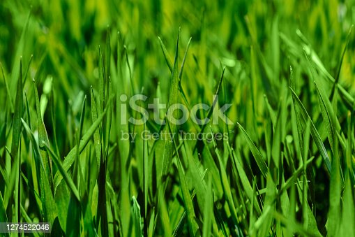 Fresh green grass in sunny day. Natural background. Close up.