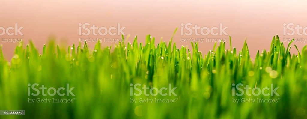 Fresh green grass panorama on natural blur nature background with light stock photo