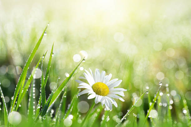 Fresh green grass with dew drops and daisy. stock photo