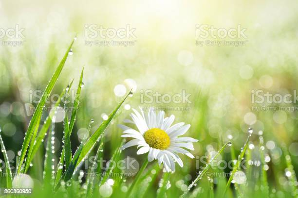 Photo of Fresh green grass with dew drops and daisy.