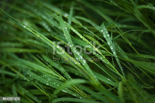 istock Fresh green grass with dew drops close up. Water driops on the fresh grass after rain. 854297424