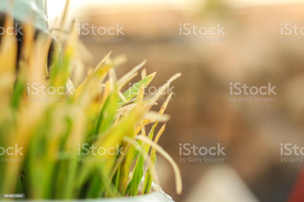 신선한 녹색 잔디 방울과 몇 가지. Nowrooz 봄 휴일 공장입니다. - 로열티 프리 0명 스톡 사진